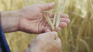 An agronomist in the wheat field