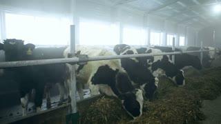 Cows at the cattle-breeding farm