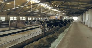 Cows in pens under the roof