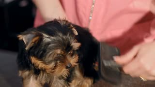 The owner of the dog is combing the dog on the table. The dog is a terrier of a dark brown color