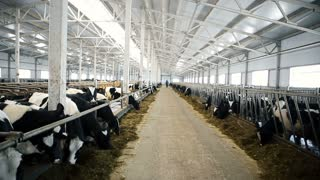 A large, bright, clean barn with animals