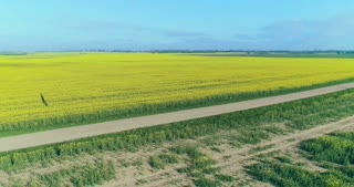 A white car is moving on the road between two fields of canola