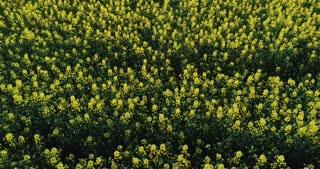 A yellow field under the summer sun