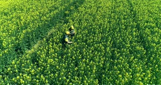 Agronomists are checking rapeseed shoots on a huge field
