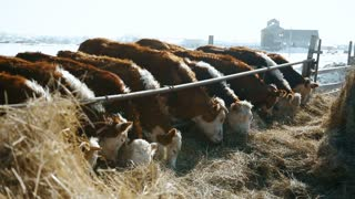 Feeding cows in a russian winter