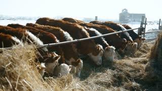 Feeding cows in a russian winter