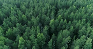 Forest resources of Russia