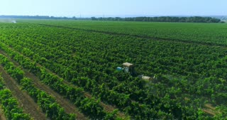Grapes are being handled with pesticides in the vineyards.