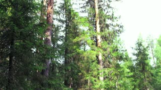 Loggers are felling trees in the forest