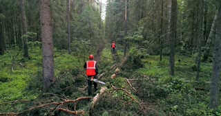 Loggers with saws are walking through the woods leaving behind themselves cut down trees.