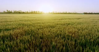 The sun is shining and letting wheat produce the nutrients