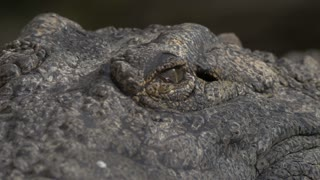 Close-up shot of crocodile head. Eyes with following view to powerful jaws with big teeth