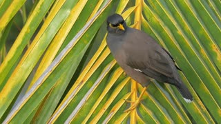 Close-up shot of mynah on palm leaf, a bird of starling family