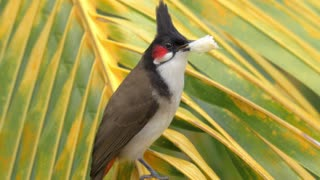 Close-up shot of red-whiskered bulbul eating a piece of bread settling on palm leaf. It is a resident frugivore found mainly in tropical Asia