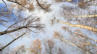 Looking up in a birch trees. Time lapse. Beautiful nature background with running clouds. Low angle shot.