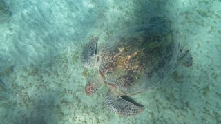 Slow motion and top view of big sea turtle looking for food on the ground. Water sparkling in sunlight