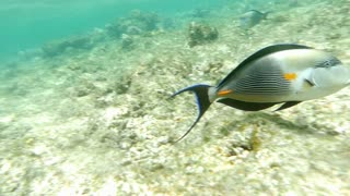 Slow motion clip of a tropical fish sohal surgeonfish acanthurus sohal on a coral reef in red sea