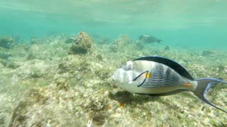 Slow motion shot of a big tropical surgeon fish swimming in coral reef in Red Sea.