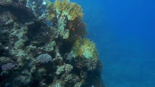 Slow motion undersea shot of school of small orange fish swimming on coral reef