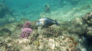 Slow motion underwater shot of a surgeon fish swimming by the coral reef in Red Sea.
