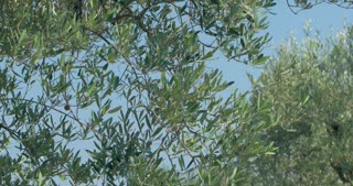 Steadicam shot of an olive tree with following close-up shot of female hands with green olives