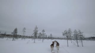 Dogsled running in winter forest. Husky dogs making their way in snowy woods, view from the sledge