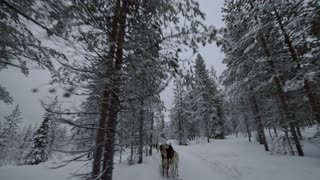 Team of husky dogs running fast and pulling sledge through the snowy pinery. Northern adventures