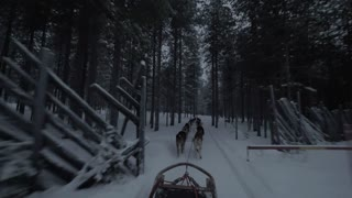 Traveling through the pinery by dogsled in the evening. View to running husky dogs from moving sled, Finland