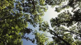 A dense green forest on a sunny day with a clear blue sky. Low angle view, dolly move.