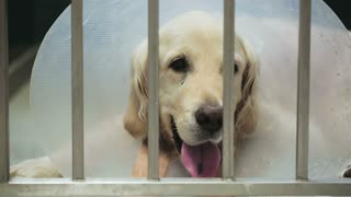 A golden retriever dog in a vet clinic cage.