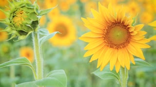 Blooming sunflower plants in a large field by summer.