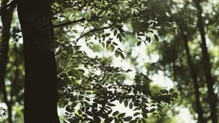 Branches with green leaves in a forest, back lit by sunlight with lens flare. Static footage.