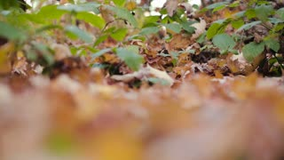 Closeup footage of a forest floor in the fall, covered by fallen leaves.