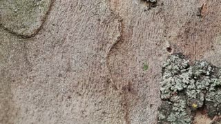 Closeup footage of ants walking up and down on a tree.