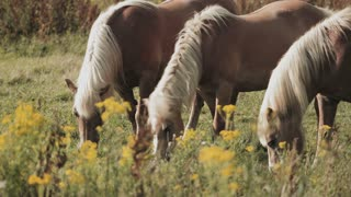 Closeup footage of three horses grazing in a rural farm field by summer.