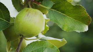 Detail of an apple growing on a tree being blown by a light summer breeze.