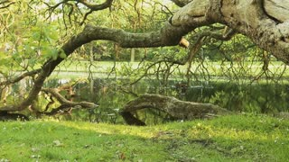 Dolly move reveals a fallen tree in a park with green vegetation and water.