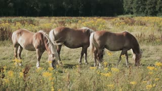 Horses grazing on a countryside meadow by summer.