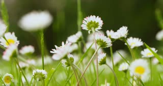 Macro footage of chamomile flowers blown by the wind.