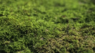 Macro footage of green moss in nature.