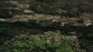 Macro footage of small mushrooms growing on a wooden log covered with green moss.