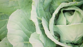 Organic green cabbage - top view.