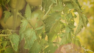 Organic green tomatoes grow at a farm by summer. Camera tilts up.