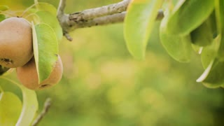 Organic pears grow on a tree in an orchard farm by summer. Panning footage.