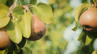 Organic pears grow on a tree in an orchard farm by summer.