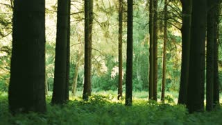 Panning footage across a green forest back lit by sunlight.