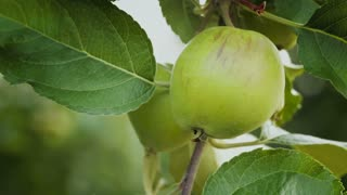 Panning footage of an apple fruit growing on a tree branch.
