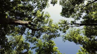 Spinning footage of tall green trees pointing up at a blue sky. Low angle view.