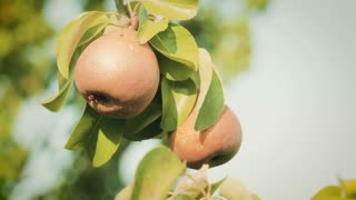 Static footage of organic pears growing on a tree branch in an orchard farm by summer.
