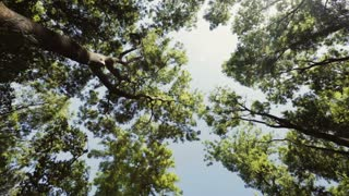 Static footage of tall green trees pointing up at a blue sky. Low angle view.